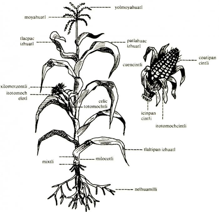 Dibujos de planta de maiz - Imagui