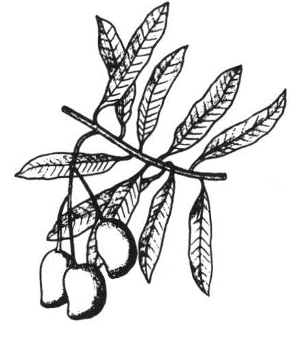 30 Graines Plaines-Trèfle petalostemum candidum #789