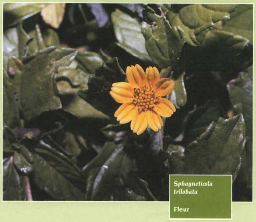 Étudiants Fleur Tagetes Orange Boy violettes hauteur 20 cm Graines
