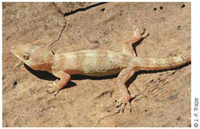 Lezards Crocodiles Et Tortues D Afrique Occidentale Et Du Sahara Introduction A L Herpetofaune De L Afrique Occidentale Et Du Sahara Ird Editions